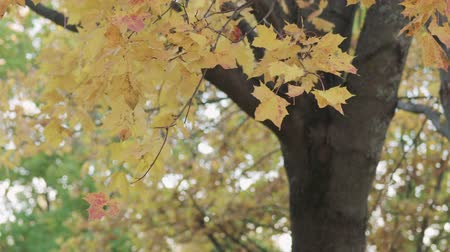 sways : Slow motion yellow maple leaves sways in wind in autumn