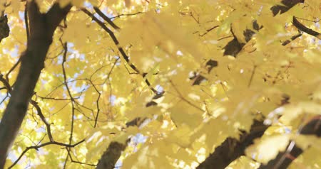 sways : Slow motion focus pull of maple tree in autumn