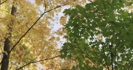 sways : Slow motion pan of green maple tree in autumn Stock Footage