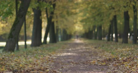 linden : Slow motion autumn linden alley in the morning Stock Footage