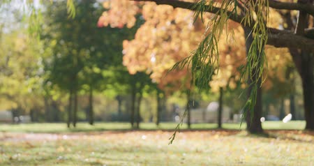 sways : Slow motion willow branch sways in wind in autumn park Stock Footage