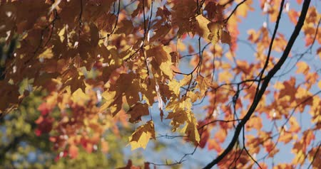 sways : Slow motion of autumn maple leaves sways in wind