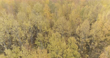 linden : Aerial backward shot over yellow golden birch forest in autumn