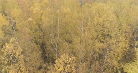linden : Aerial forward shot over yellow golden birch forest in autumn