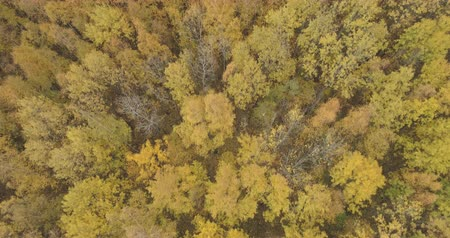 linden : Aerial forward tilt shot over yellow golden birch forest in autumn