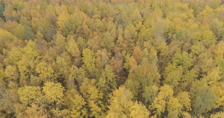 orbital : Aerial orbit shot over yellow golden birch forest in autumn Stock Footage