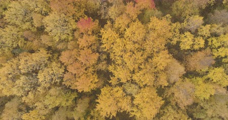 linden : Aerial top view backward descent shot over yellow golden birch forest in autumn