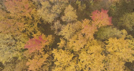 linden : Aerial top view descent shot over yellow golden birch forest in autumn
