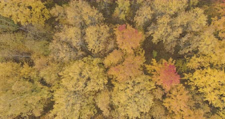 linden : Aerial top view sideways shot over yellow golden birch forest in autumn