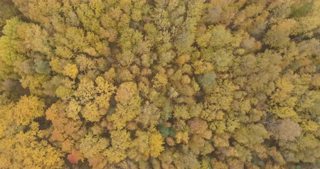 linden : Aerial top view spin shot over yellow golden birch forest in autumn Stock Footage