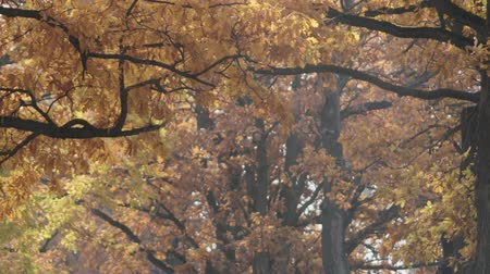 outubro : Slow motion pan of falling autumn oak leaves in park