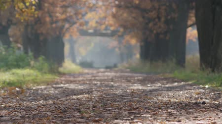 oak : Slow motion autumn alley in park low angle Stock Footage