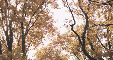 sways : Slow motion autumn oak branches sways in the wind