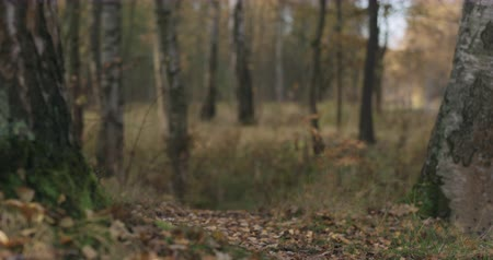 osika : Slow motion focus pull in autumn wild park with birch trees low angle