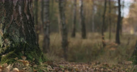 pień : Slow motion focus pull in autumn wild park with birch trees low angle
