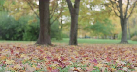 проливая : Slow motion of maple tree in park slowly shedding leaves Стоковые видеозаписи