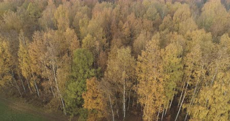 linden : Aerial backward shot over autumn forest in the morning Stock Footage