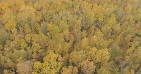 linden : Aerial forward shot with tilt over yellow golden birch forest in autumn