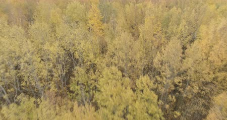 linden : Aerial fast forward shot over yellow golden birch forest in autumn