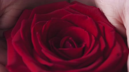 rose : Slow motion of teenage girl in casual clothes show red rose in cupped hands Stock Footage