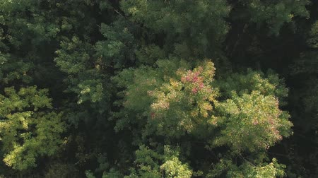 アセント : Aerial ascent top view flight over autumn trees in forest in september