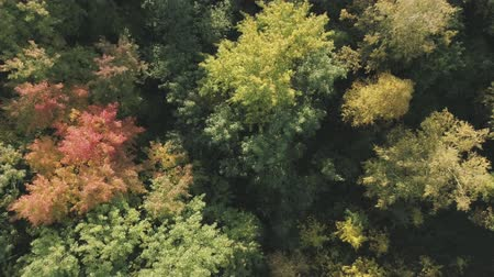 bétula : Aerial descent top view flight over autumn trees in forest in september