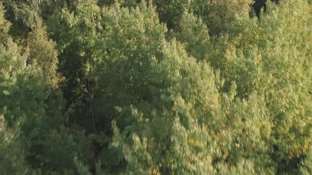 para a frente : Aerial forward flight over autumn trees in forest in september
