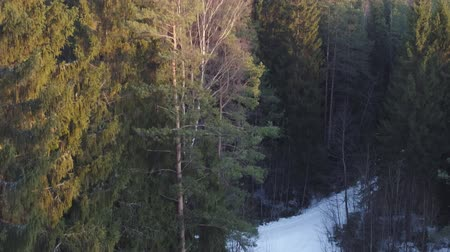 skandináv : Aerial footage rising over fir forest in winter season
