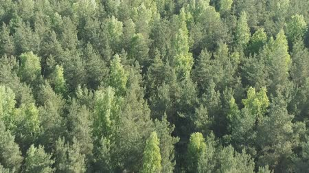 birch tree : Aerial forward flight over mixed forest on a sunny summer day Stock Footage