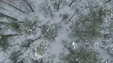 birch : Aerial top view backward fly over winter frozen pine forest