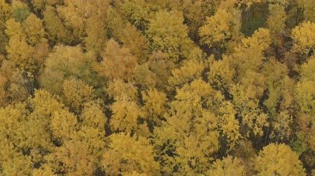 linden : Aerial descent shot over yellow golden birch forest in autumn