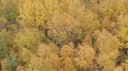 autumn leaves : Aerial forward shot over yellow golden birch forest in autumn