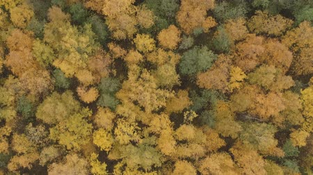 linden : Aerial top view forward shot over yellow golden birch forest in autumn