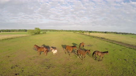 dron : Aerial horses running away from drone 4k Wideo