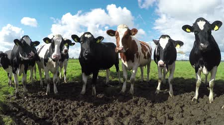 dairy animal : Group friendly cattle or curious young black white and one brown Holstein milk cows standing in the mud at the farm gate looking into the camera clean clear natural environment 4k high resolution