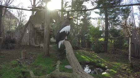 kept : Sea eagle on a dead tree large proud bird of prey kept in captivity in a zoo the animal is also known as Stellers sea eagle and is biggest bird in the genus Haliaeetus and is one of largest raptors 4k