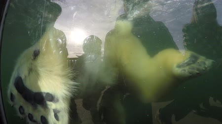 polar circle : Large polar bear swimming towards camera furry puts one foot on glass wall to push itself under water Further beautiful large animal kept in captivity in zoo enjoying playing itself 4k high resolution