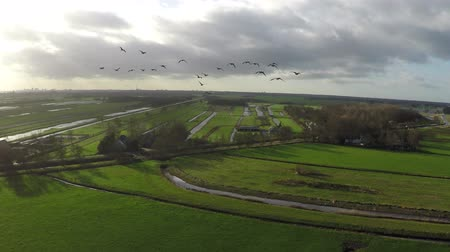 foraging behavior : Aerial flying near V formation birds flock geese goose group flocking defense against predators while foraging near drone formation and it breaks up after the UAV gets near the group 4k resolution