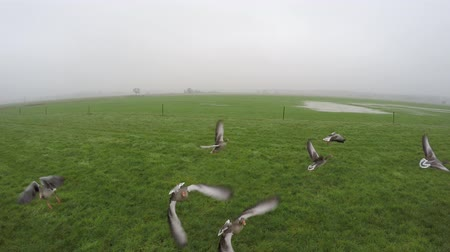 bird's eye view : Aerial slow motion footage geese taking off flying away through drone almost crashing into the camera UAV grassland green grass landscape mist weather large birds very close to 4k resolution camera Stock Footage