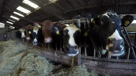 friesian : Close up dolly shot or mixed breed happy content cattle cows in barns moving showing animals feeding on fresh hay dried grass showing Aberdeen Angus and Holstein wide wide wide Senepol livestock 4k Stock Footage