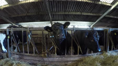 friesian : Dolly shot or mixed breed cattle cows in barns moving left to right showing animals feeding on fresh hay dried grass showing Aberdeen Angus and Holstein wide wide wide Senepol friendly livestock 4k Stock Footage