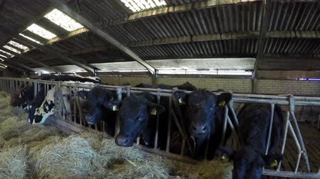 friesian : Dolly shot or mixed breed cattle cows in barns moving right to left showing animals feeding on fresh hay dried grass showing Aberdeen Angus and Holstein wide wide wide Senepol friendly livestock 4k