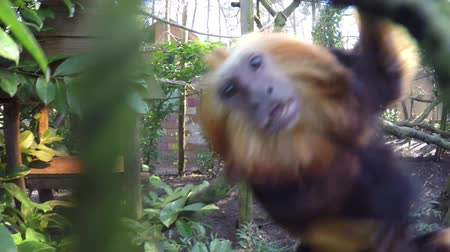 tamarin : Golden-headed lion tamarin jumping or platform and moving fast across sectors then jumps towards camera very close up of beautiful colorful fast and small monkey in zoo 4K high resolution Lion Tamarin
