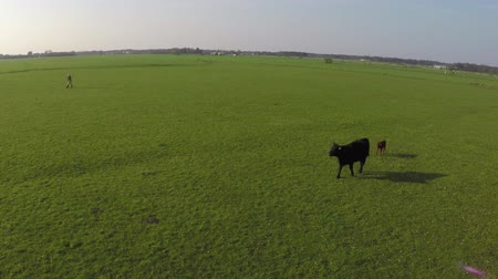 born calf : Aerial drone flying over cattle Aberdeen Angus cow and young calf just born walking on fresh green grass field ook beautiful blue sky background beautiful rural landscape 4K high resolution quality Stock Footage