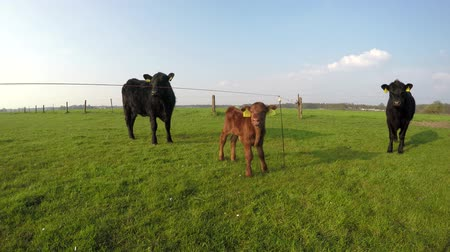 born calf : Aberdeen Angus herd cows and young just born calf cows standing between large beautiful Angus Cattle very cute young light brown calf looking on green grass fresh grass field blue sky background 4k