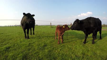 born calf : Aberdeen Angus herd cows and young just born calf standing grassland large beautiful Angus Cattle very cute young light brown calf looking on green grass fresh grass field blue sky background 4k