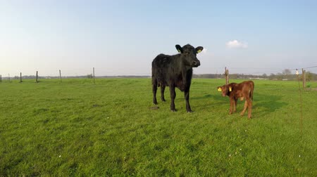 born calf : Aberdeen Angus mother cow and young calf just born on farmland field beautiful large Angus Cattle and very cute young light brown calf standing in green grass fresh grass field blue sky background 4k
