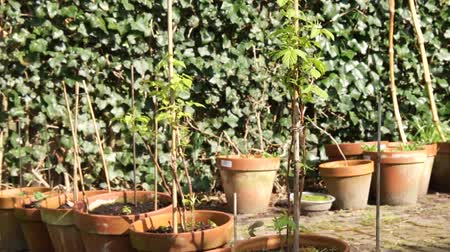 terracota : Footage of a pottery garden showing some pots with raspberry fruit and some other fruits and vegetables at the background very amazing beautfiul small garden and terra cotta pots for growing foods hobby Stock Footage