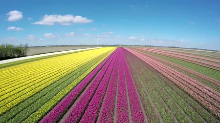 еще : Aerial of beautiful colorful tulip field moving up higher showing different layers of color on farmfield white pink purple flowers ook green strips and not yet ready flowers drone birdview steady 4k Стоковые видеозаписи