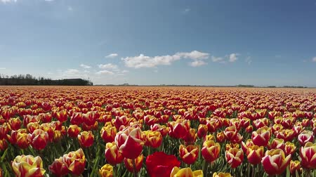 amsterodam : Long dolly shot of fresh tulips orange red colored beautiful mix of colors during spring season in Holland, known for its large tulipfields growing all kind of colored tulips blue sky background
